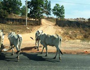 ID 1448 krave indija igor_9392