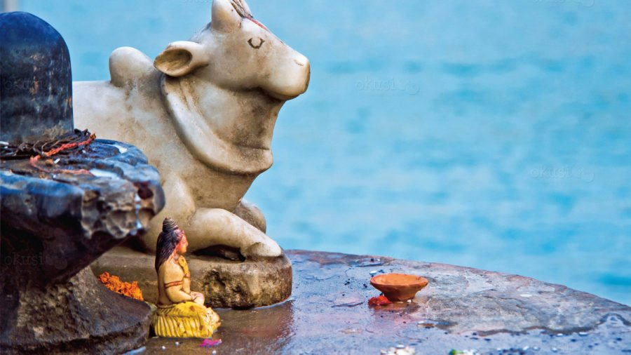 fotografija svete krave iz Indije