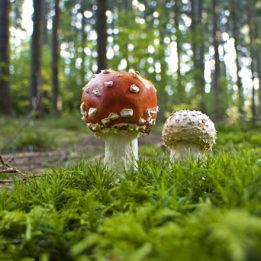 fotografija gljive Muhare